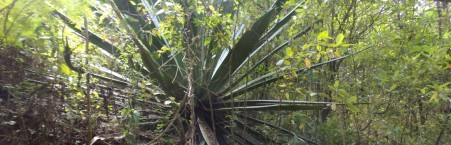 Giant agave like plant-used to make rope -nature walks!
