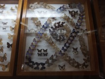 butterflies at museum in costa rica