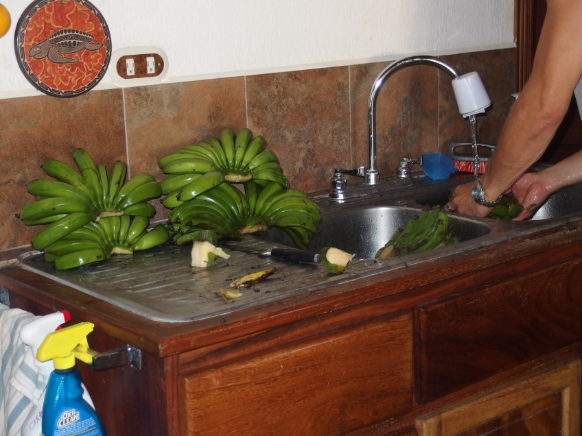 fresh bananas from our farm in sanr amon costa rica