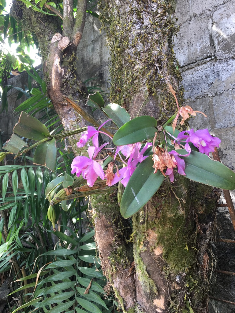 wild orchids in townhouse san ramon costa rica
